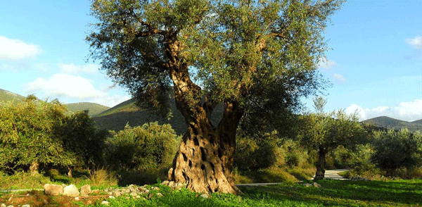 400-plus-year-old-koroneiki-olive-tree